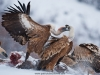 vulture_griffon_0011