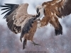 vulture_griffon_0038