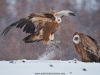 vulture_griffon_0115