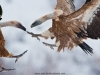 vulture_griffon_0129