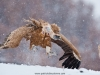vulture_griffon_0132