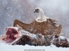 vulture_griffon_0189