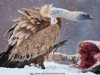 vulture_griffon_0310