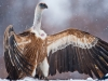 vulture_griffon_0324