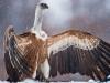vulture_griffon_0324