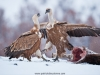vulture_griffon_0351