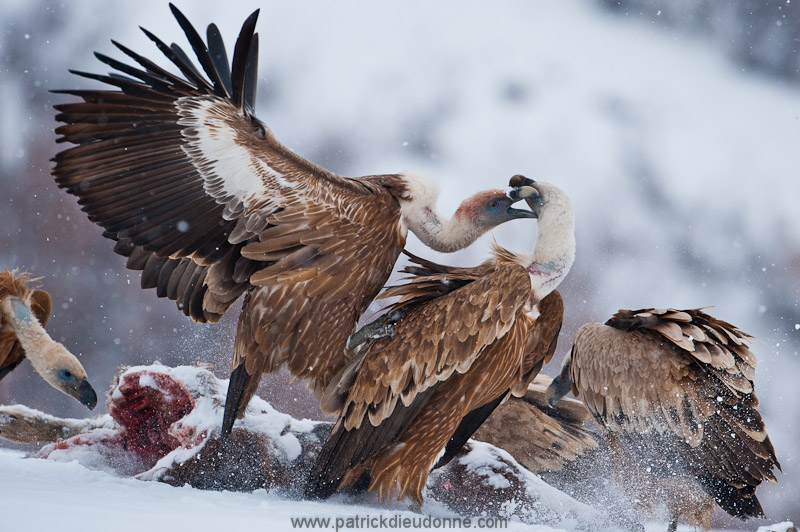vulture_griffon_0011
