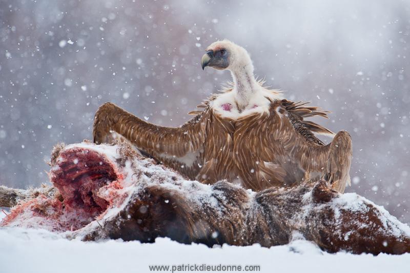 vulture_griffon_0189