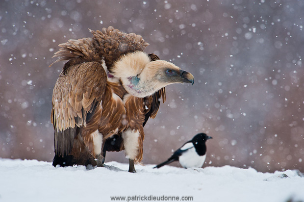 Griffon Vulture (Gyps fulvus) with Magpie, under snow, Bulgaria