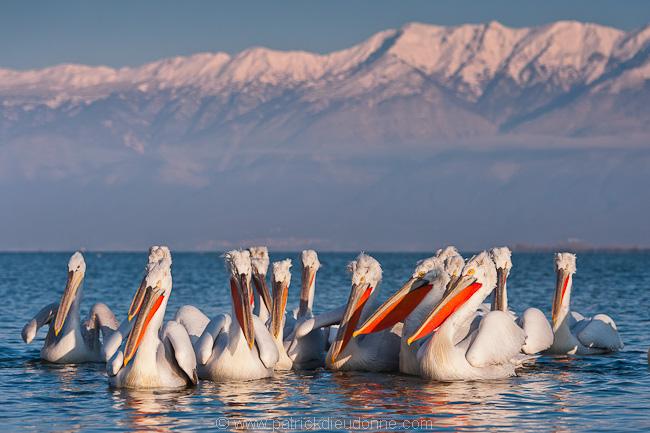 Pélicans frisés (Pelecanus crispus) sur le lac Kerkini, Grèce.
