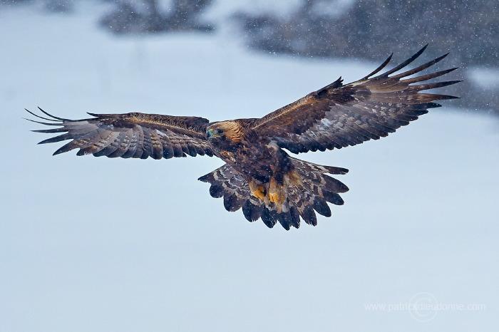 Aigle royal en vol © Patrick Dieudonne 2013