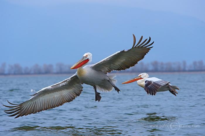 Pélicans en vol