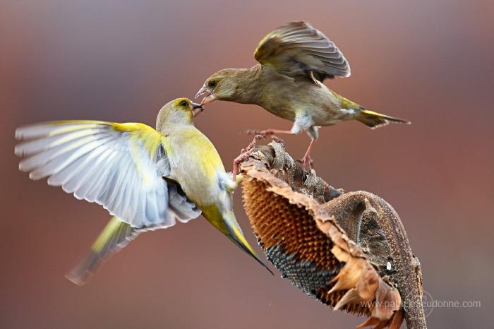 Combat de verdiers