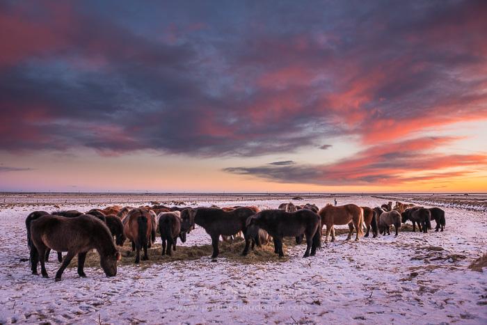 Chevaux islandais au soleil couchant