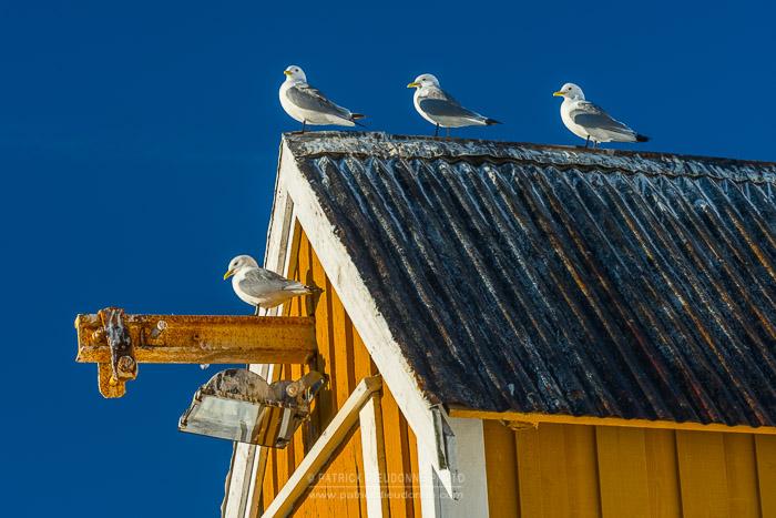 Hangar et mouettes, Nusfjord