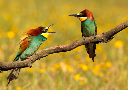 Bee-eaters in springtime