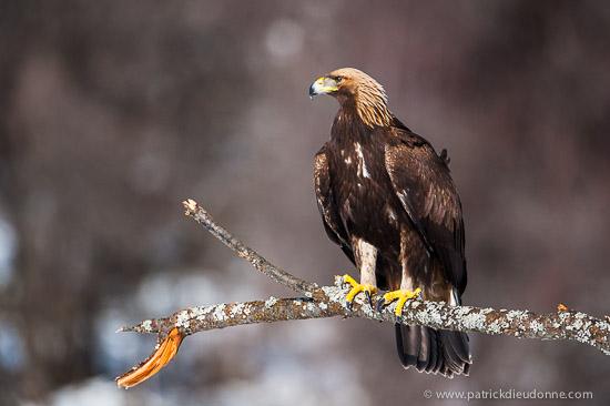 Aigle royal, Bulgarie