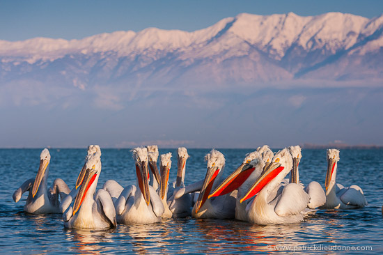 Pélicans frisés, Kerkini, Grèce
