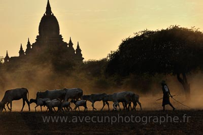 Bagan, Birmanie, berger et chèvres