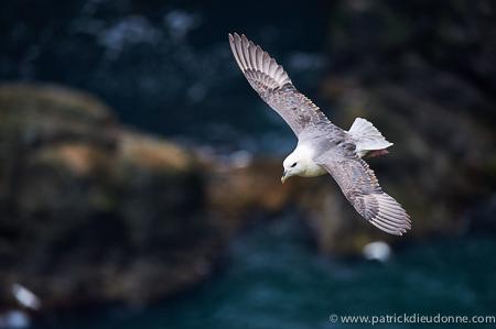 Fulmar boréal, Noss, Shetland