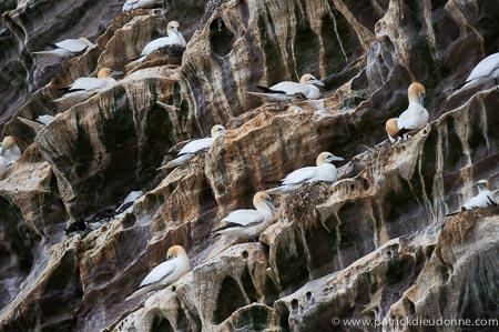 Fous de Bassan, Noss, Shetland