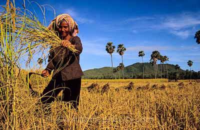 Moisson du riz, cambodge