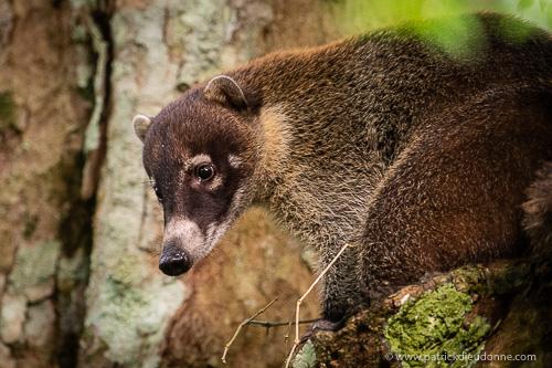 Coati brun