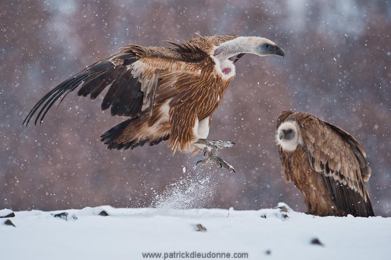 vulture_griffon_0115