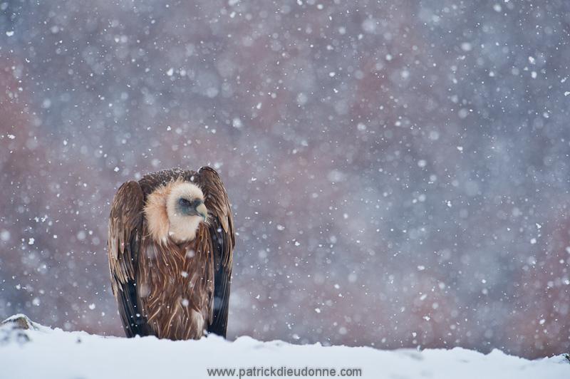 vulture_griffon_0196