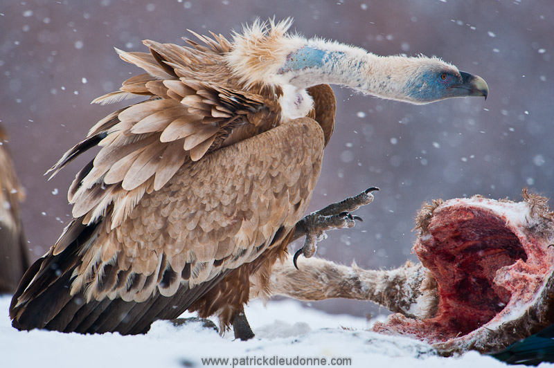 vulture_griffon_0310
