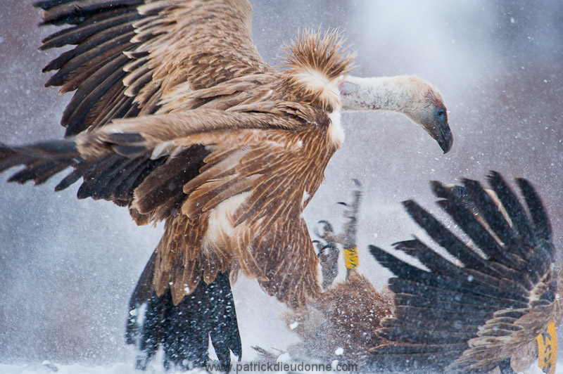 vulture_griffon_0319