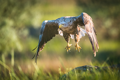 White-tailed Eagle, Danube delta